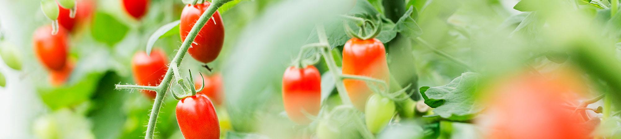 ファーム アイコトマト